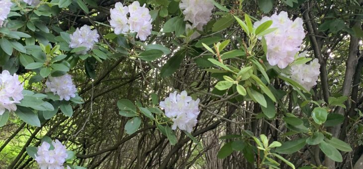 120 Year Old Rhododendrons